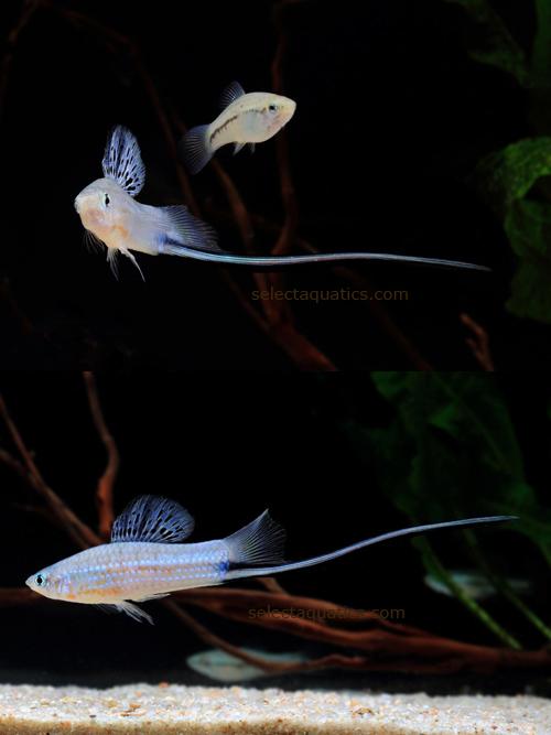 Xiphophorus montezumae - Jordan & Snyder, 1899 - HD - Xypho ...